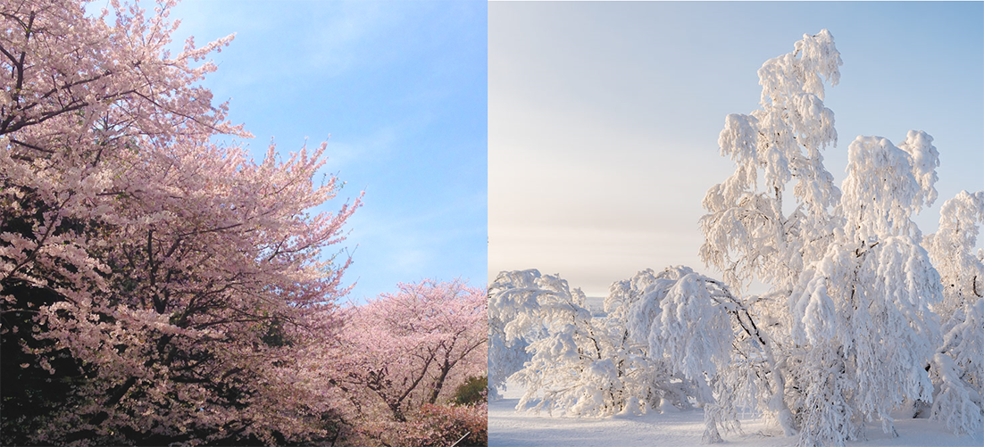 Collage of Cherry tree blossoming and another tree covered in snow.