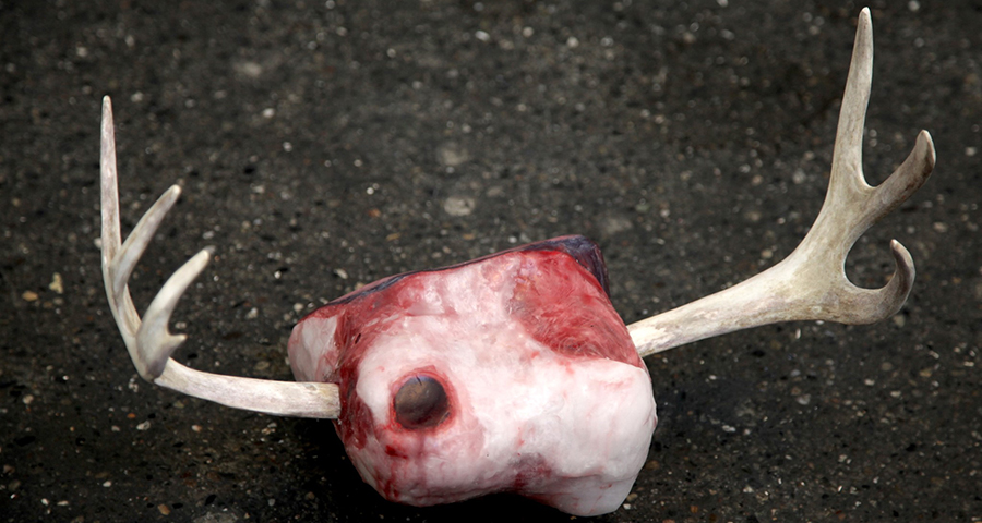 Raindeer skull. Photo