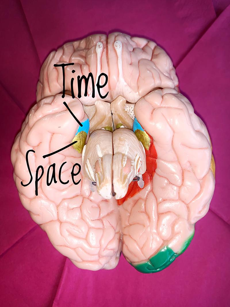 Model of the brain showing where we register time and space
