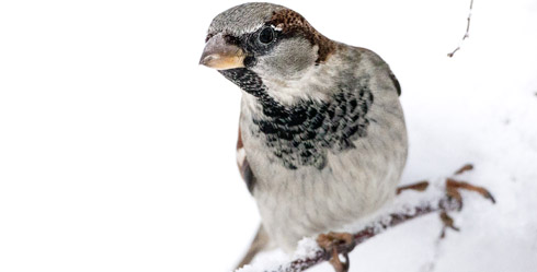 House Sparrow (Passer domesticus) - Ecology, Behavior, Evolution and Biosystematics - Photo: Per Harald Olsen