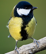 Great tit - Photo: Per Harald Olsen/NTNU