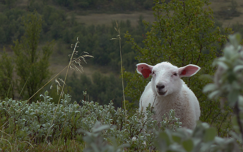 Sheep in nature. Photo