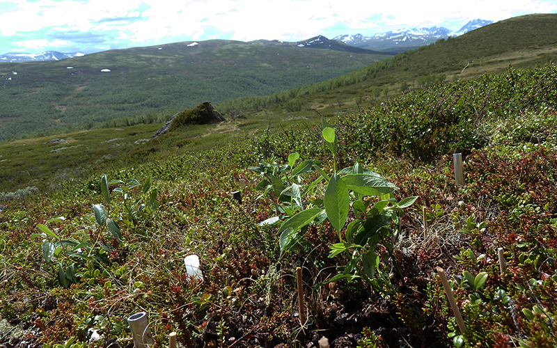Willows just transplanted in the heath community, Dovre Mountains, Central Norway. Photo: Mia Vedel Sørensen.