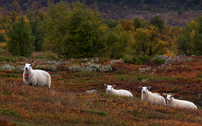 Sheep near the heath community, Dovre Mountains, Central Norway. Photo: Benjamin Blonder