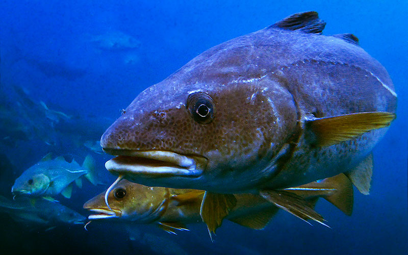 Cod swimming in the water. Photo