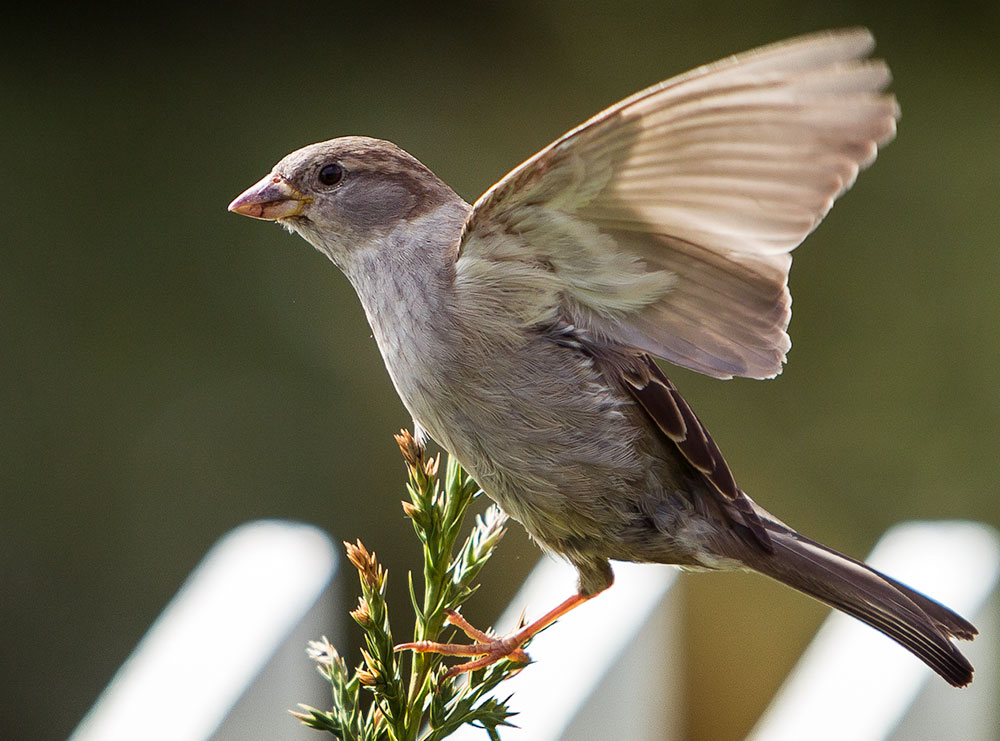 House sparrow flying. Photo