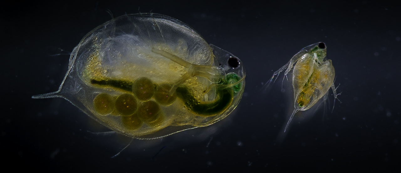 Dapnia Magna.The use of Daphnia magna as an experimental animal for such purposes is advantageous in many respects. Photo