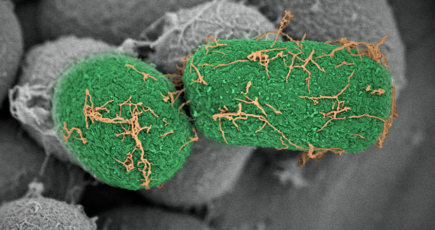 Microbial biotechnology, close up photo of two green microbes. Photo