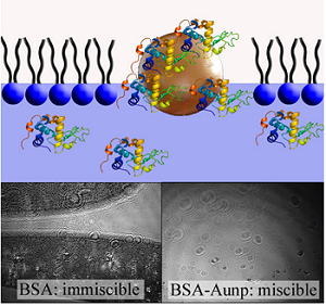 Emergent membrane-affecting properties of BSA-gold nanoparticle constructs. Illustration.