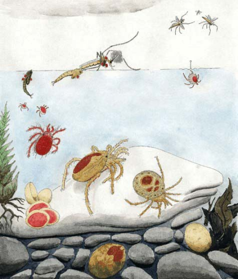 The life cycle of a water mite. Illustration Reinhard Gerecke ©