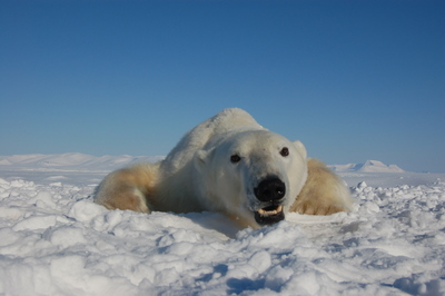 Polar bear in Svalbard. Photo credit: Jenny Bytingvik