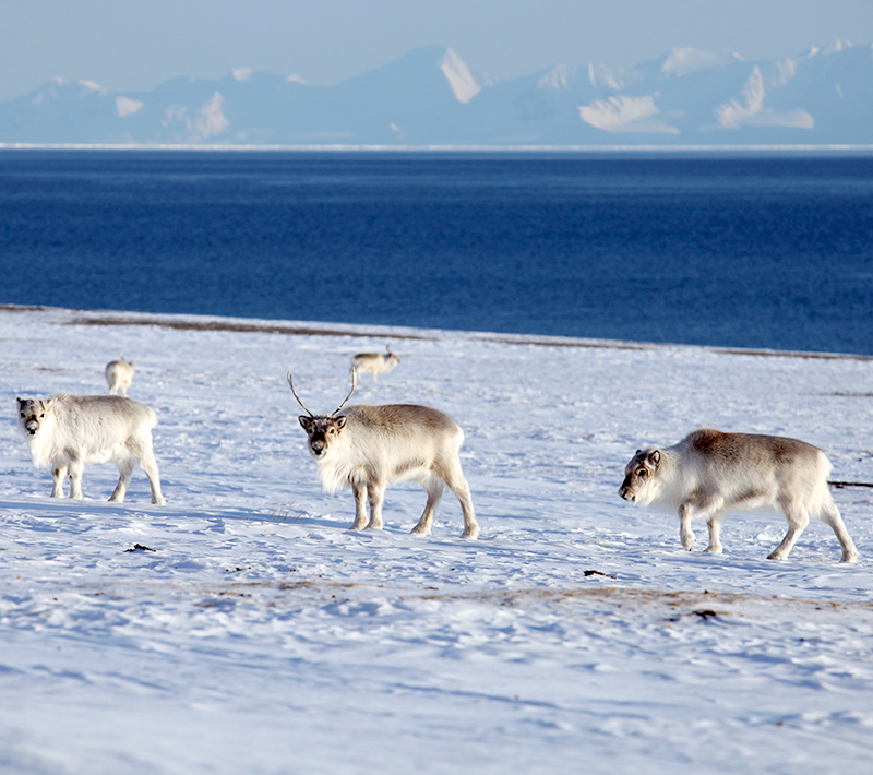 Reindeer in snow with water in background. Photo