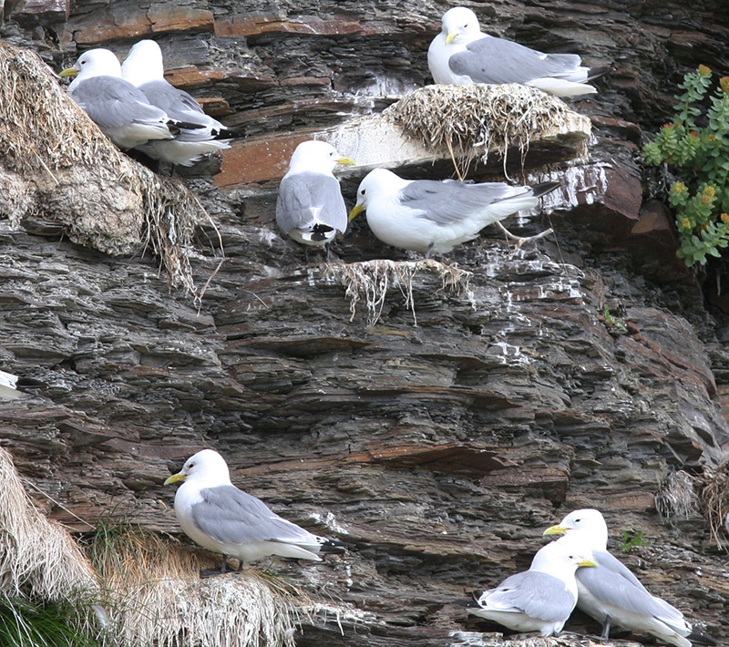 Seagulls on a cliff. Photo
