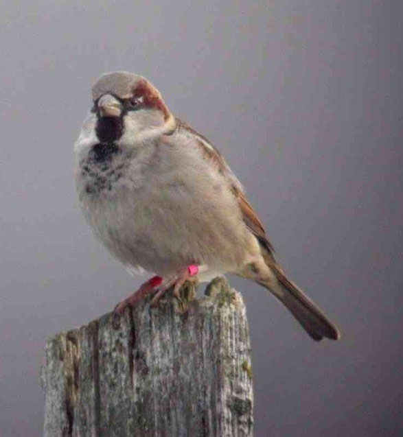 House sparrow, photo: Henrik Jensen