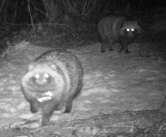Two Swedish raccoon dogs on their move. Photo: P.-A. Åhlén