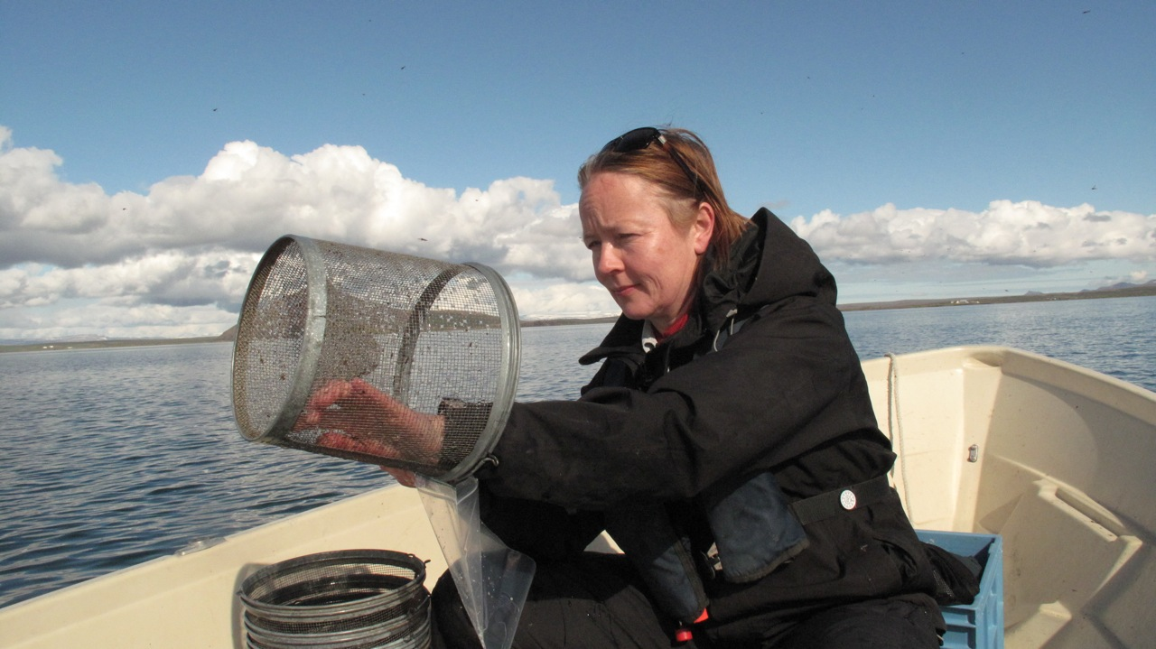 Katja inspecting a trap for three-spined sticklebacks during fieldwork at Myvatn, Iceland.